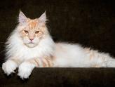 Fotografias retratam raça de gatos enormes e lindos
