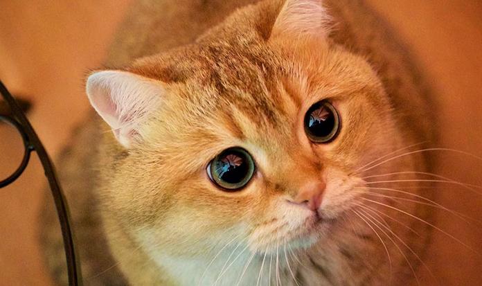 Conheça Hosico, o gatíneo mais fofíneo!