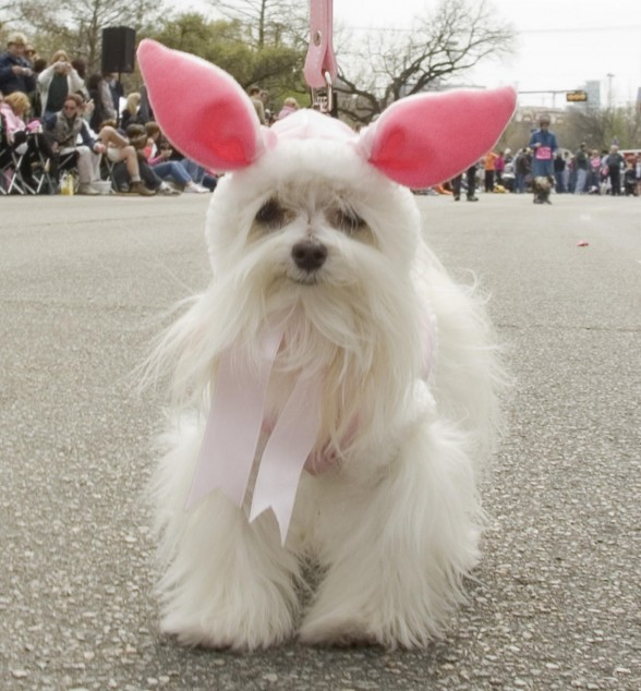 Photo-white-dog-with-bunny-ears-2-588x634